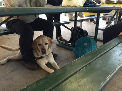 Photo of yellow lab guide dog under the picnic table sitting by his handler's leg.